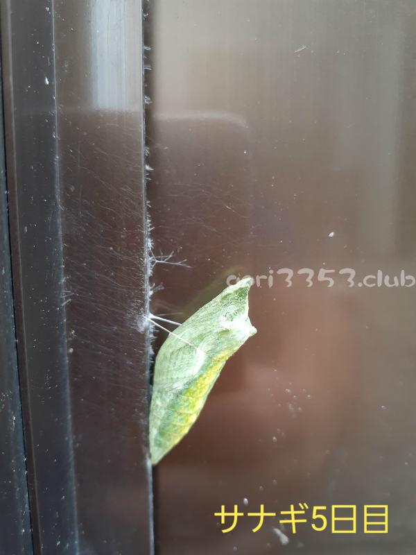 アゲハ蝶のサナギ期間ってどのくらいなんだろうね。観察日記。